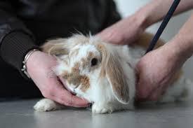 Consultation lapin, clinique vétérinaire de la Fure